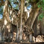 世界で最も太い木「エル・トゥーレ」縄文杉の2倍以上の太さ!~メキシコ・オアハカ~