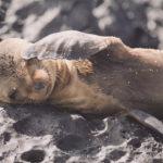 【ガラパゴス諸島】アシカの楽園。反則的に愛くるしい子アシカ。 ~サンクリストバル島~[動物癒し映像有り]